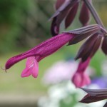 The claret coloured flower looks fantastic against the darker stem and calyx.