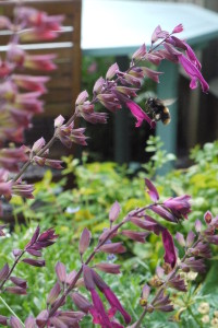 Salvia Love and Wishes - a landing pad for a bee!