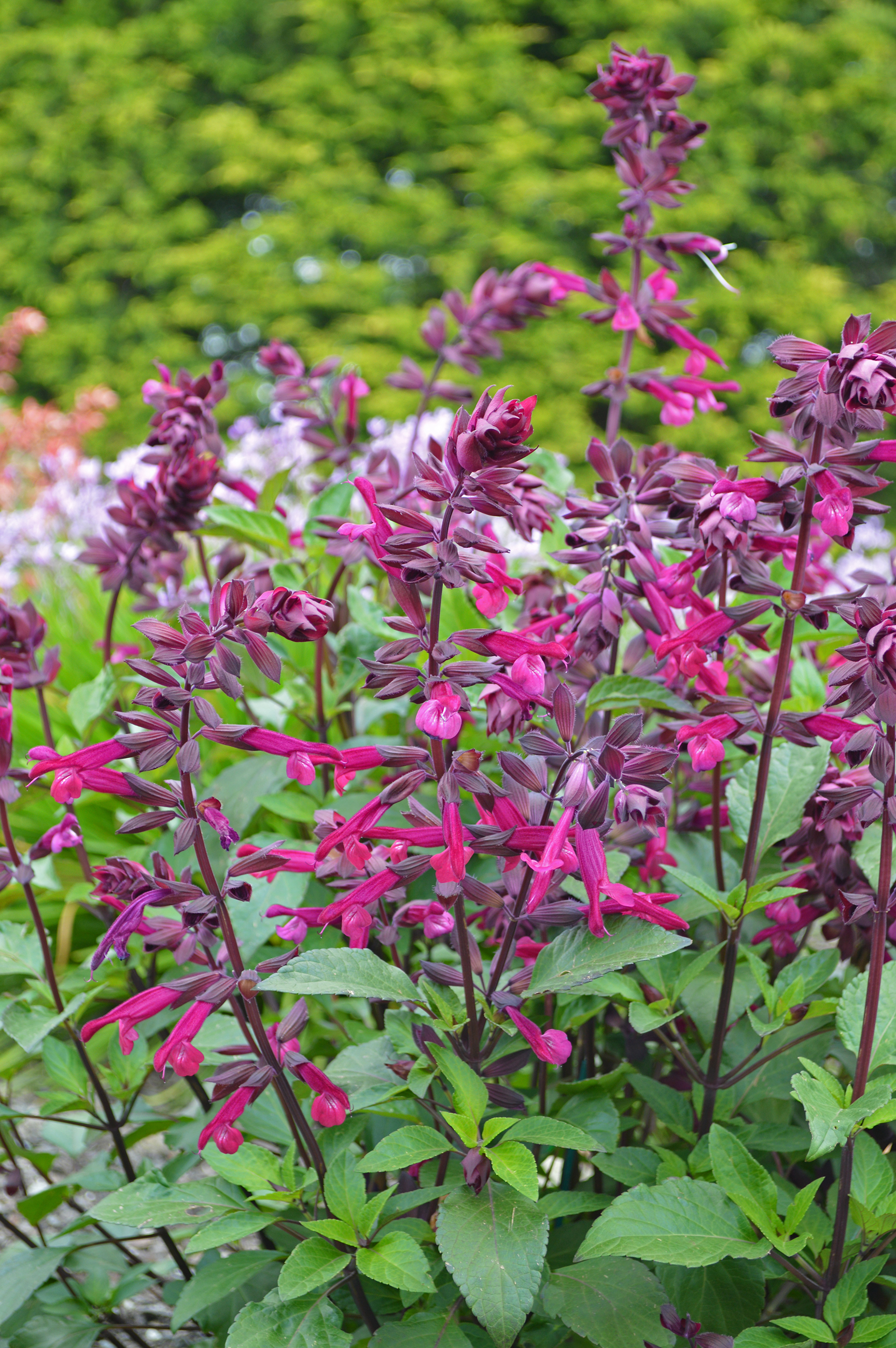 Love and Wishes, like the other Salvia varieties in the Wish Collection, are very free-flowering. They flower from May until frost.