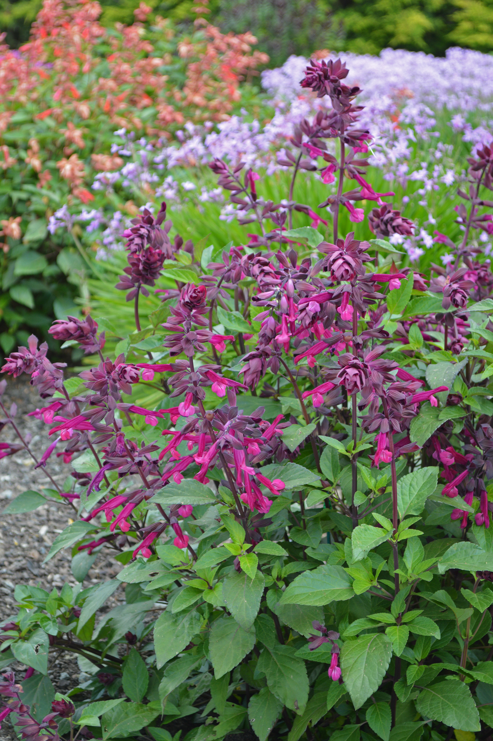 Love and Wishes makes a great garden plant - choose a sunny position in well-drained soil.